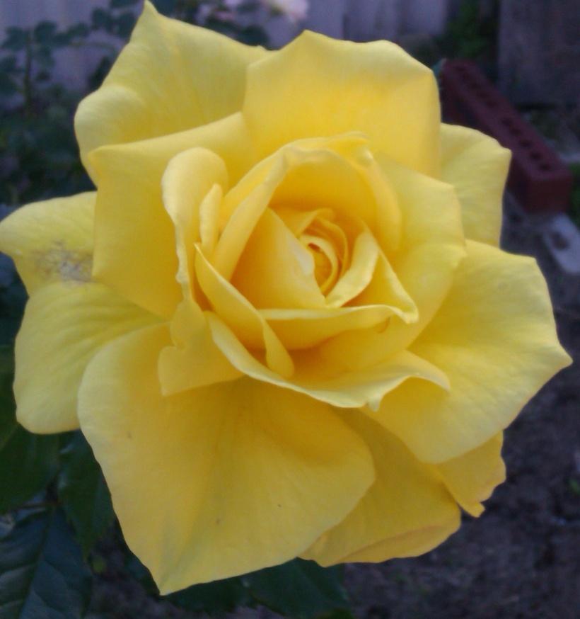 Yellow-rose1