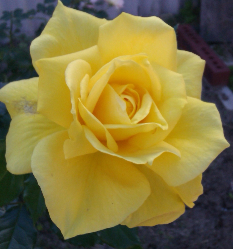 Yellow-rose1