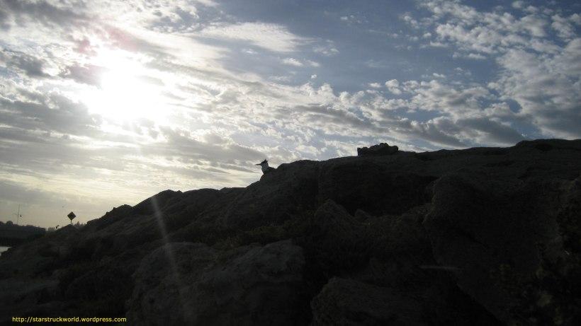 Crested-Tern-Fremantle-31-Jan
